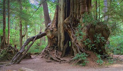 Old growth T. plicata, Olympic Peninsula, USA